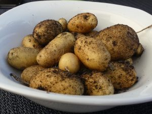 Ein Teller voller geernteter Kartoffeln